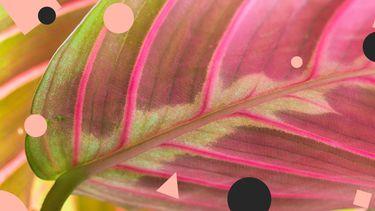 roze kamerplant