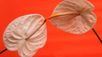 twee orchideeen die een metafoor zijn voor seks hebben